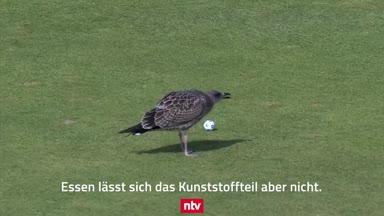 Verrückt! Möwe crasht Golf-Turnier