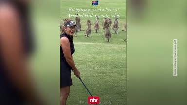 Irre Szenen: Kängurus belagern Golfer