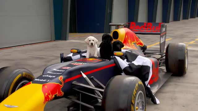Hundewelpen erobern die Formel 1